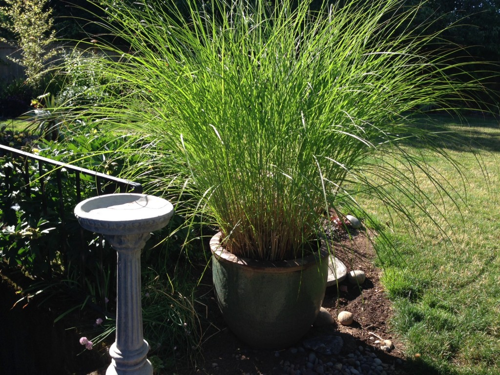 Miscanthus sinensis, a most reliable grass.