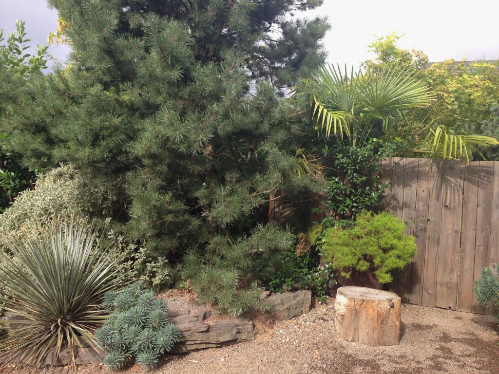 garden 1 conifer with yucca landscape