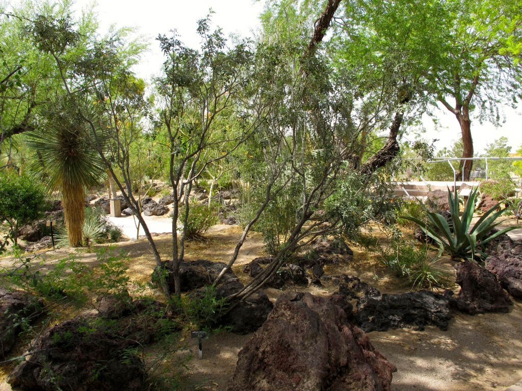 arizona sophora