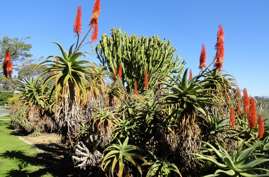 Falling in love, with aloes