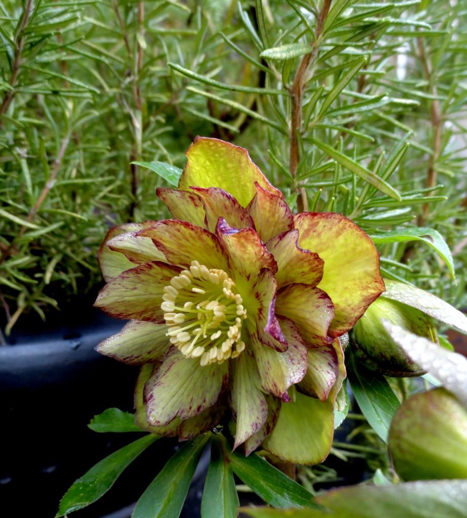 Helleborus x hybridus 'Jade Tiger'