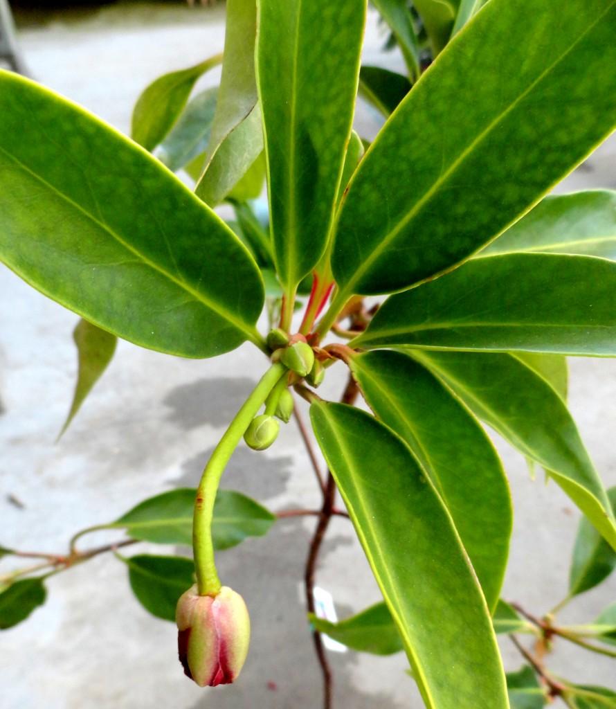 Illicium floridanum 1
