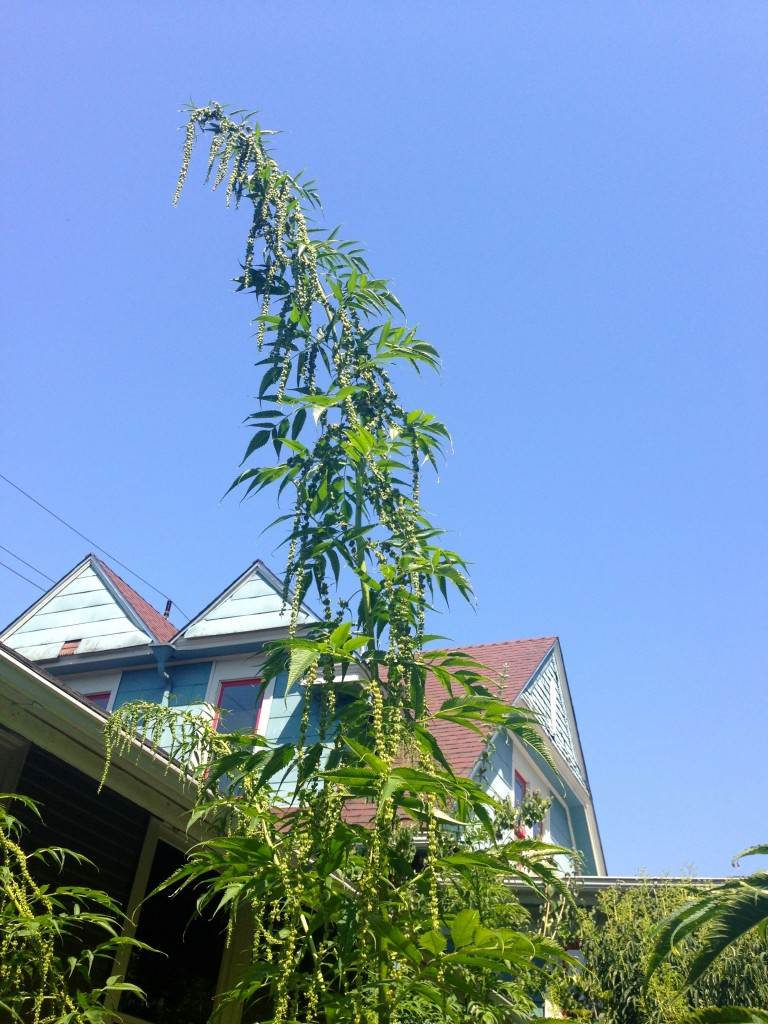 false hemp height 2