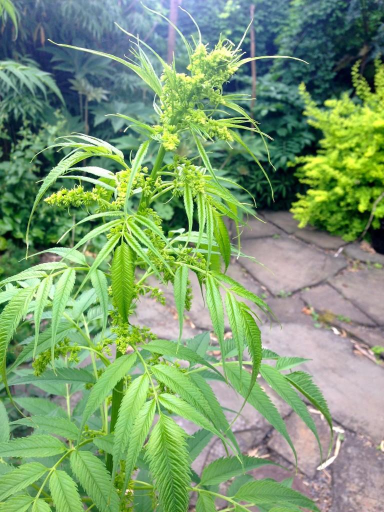 false hemp bud