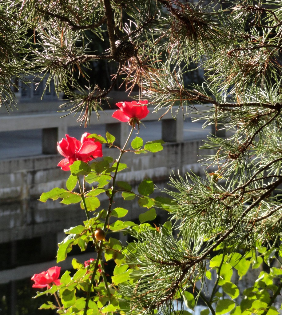 NOID rose