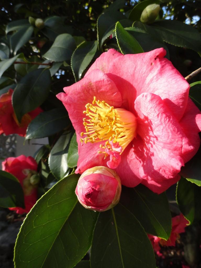 Camellia NOID