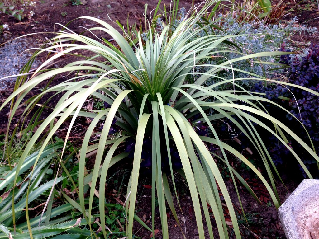 Nolina 'La Siberica' - plays well with others
