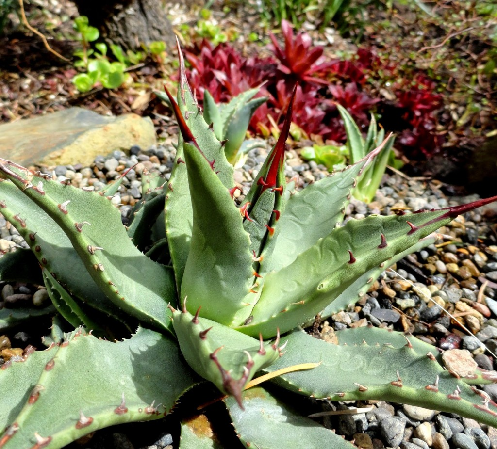 Agave gracilipes