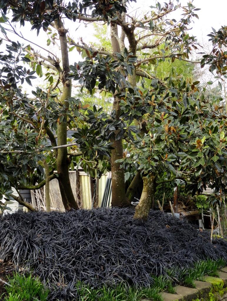 mondo and magnolia
