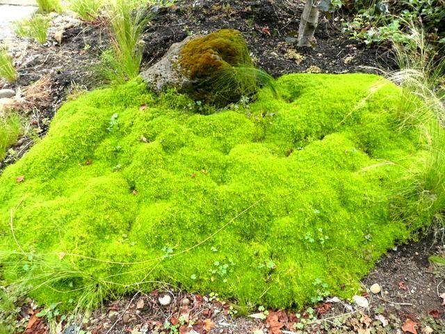 scotch moss close up