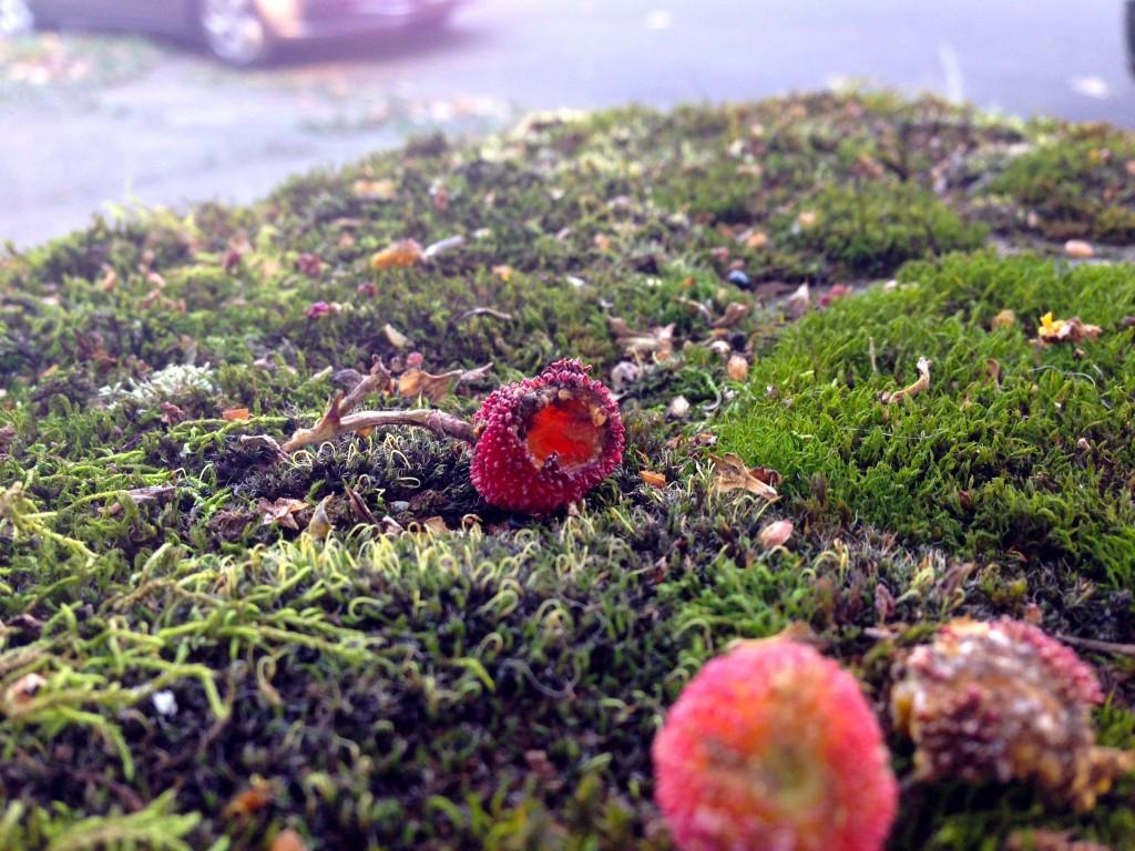 moss with arbutus fruit