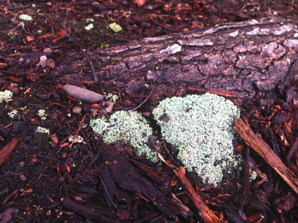 lichen moss?