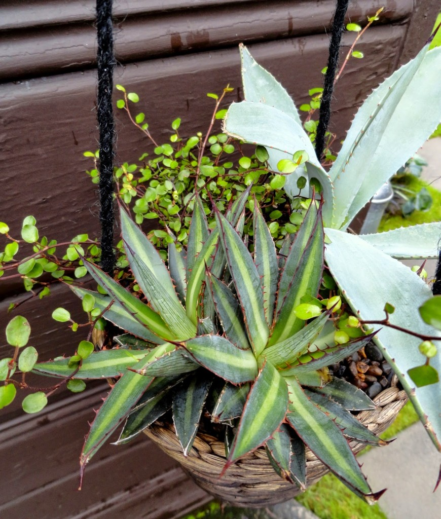 Agave funkiana 'fatal attraction'