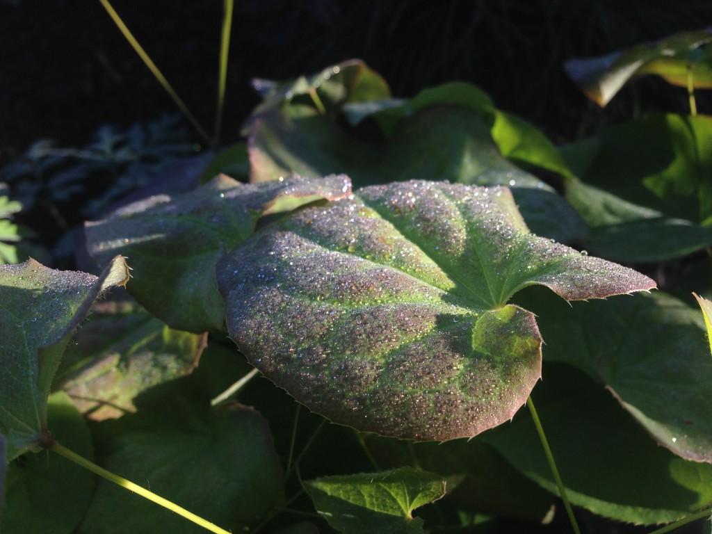 epimedium NOID foliage