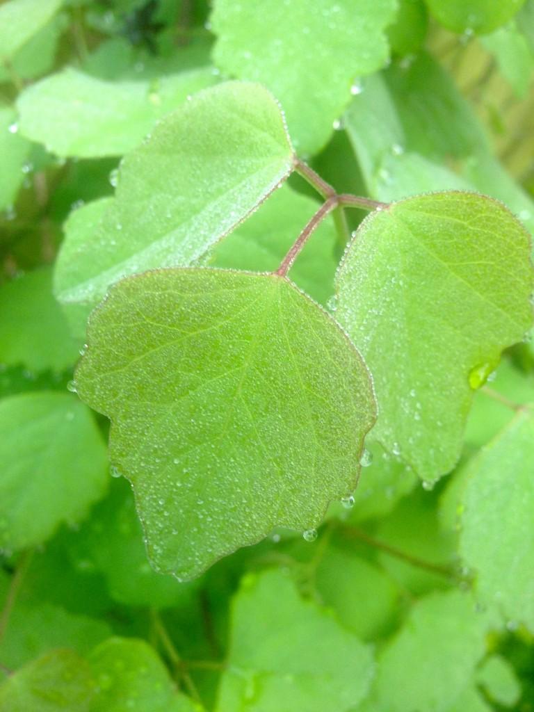 akebia trifoliata foliage