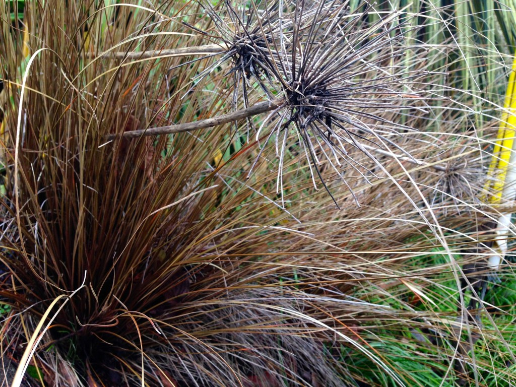 alliums and carex