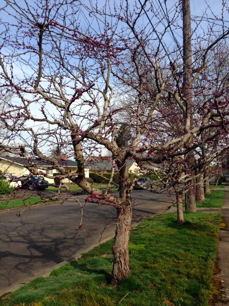 Redbuds with good pruning
