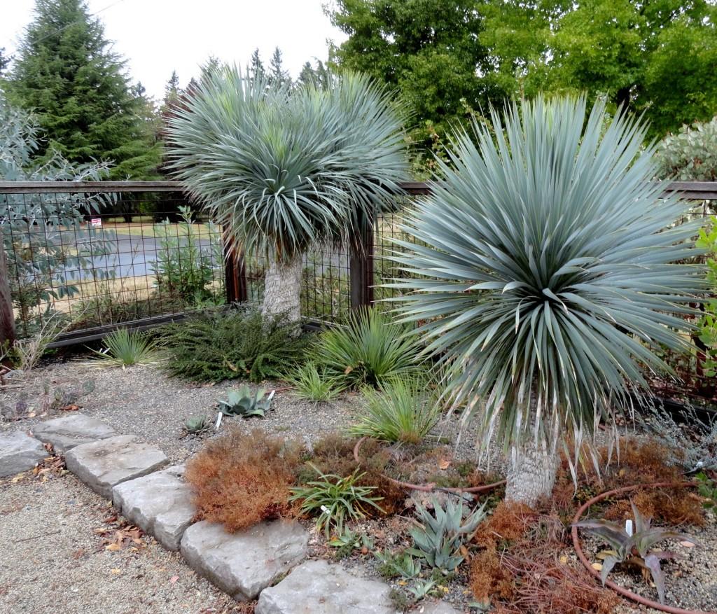 Yucca rostrata 3 headed