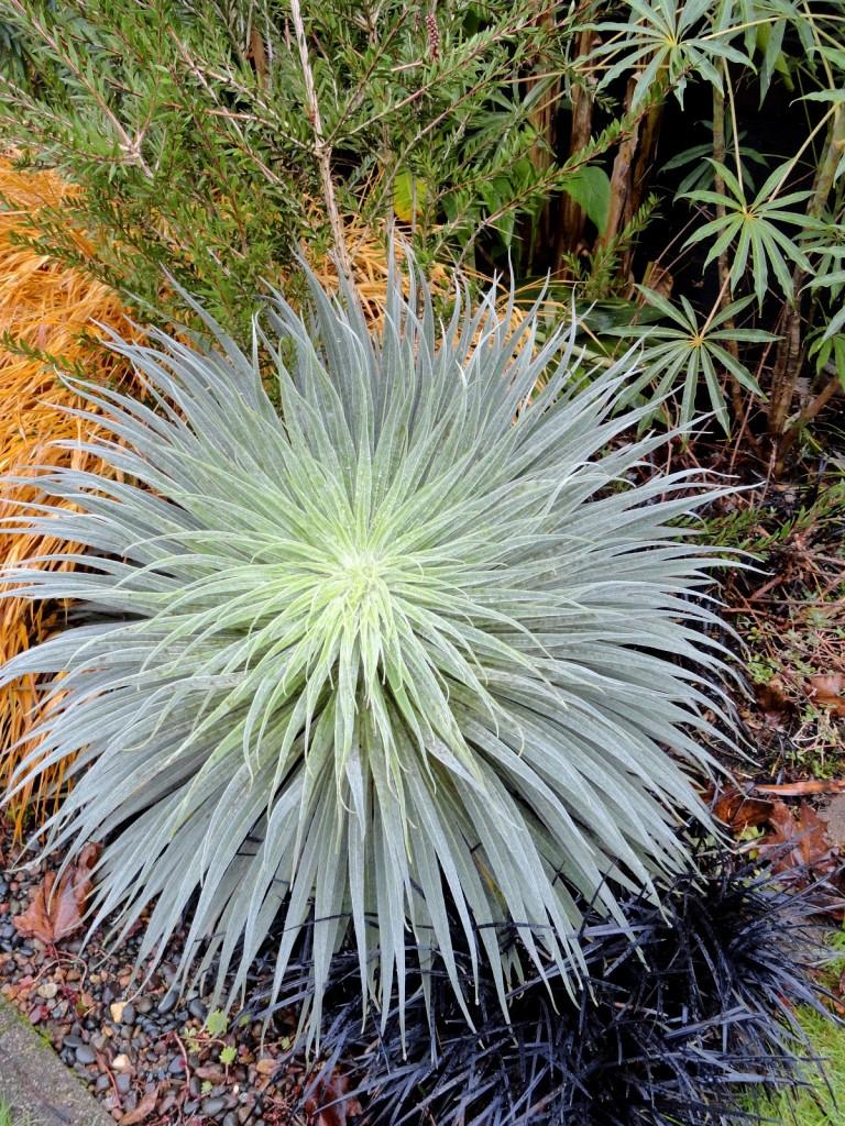 Echium wildpretii 5