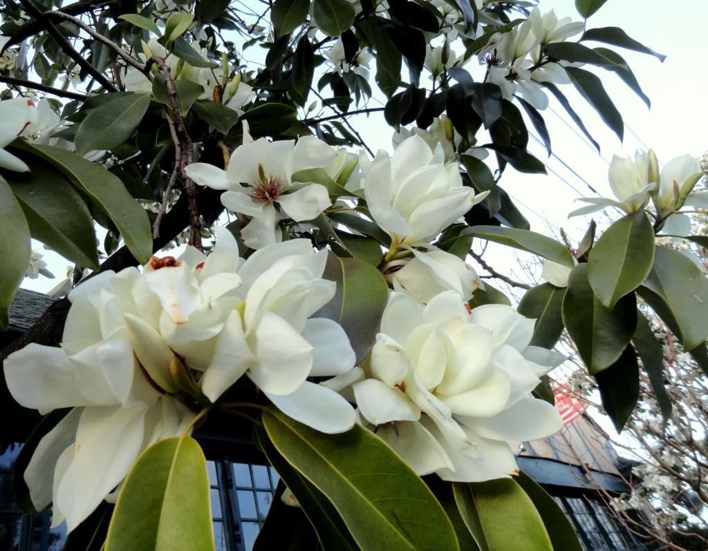 Magnolia maudiae 3