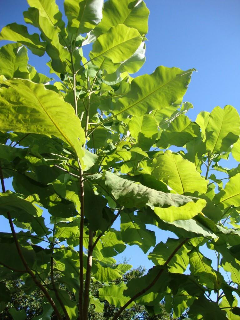 Magnolia macrophylla 2