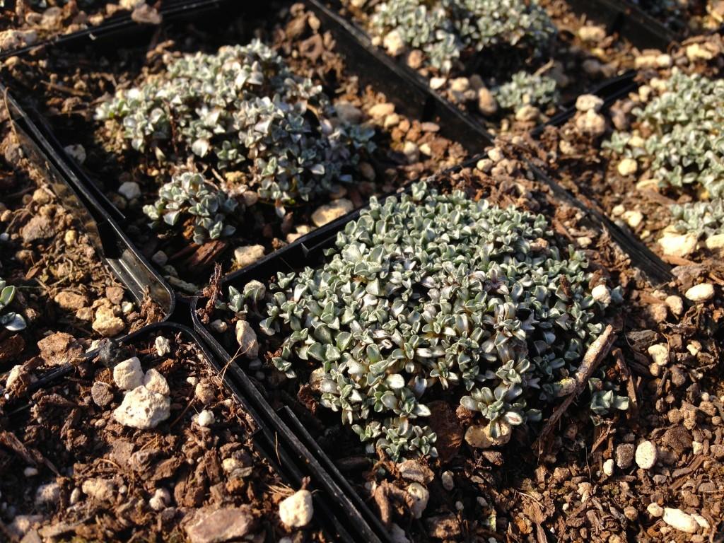 Raoulia australis