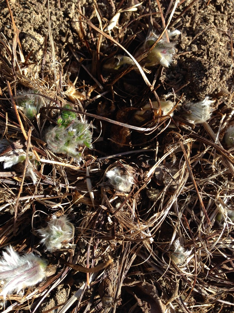 Pulsatilla aka Pasque flower. Doesn't look like much now, but it's alive.