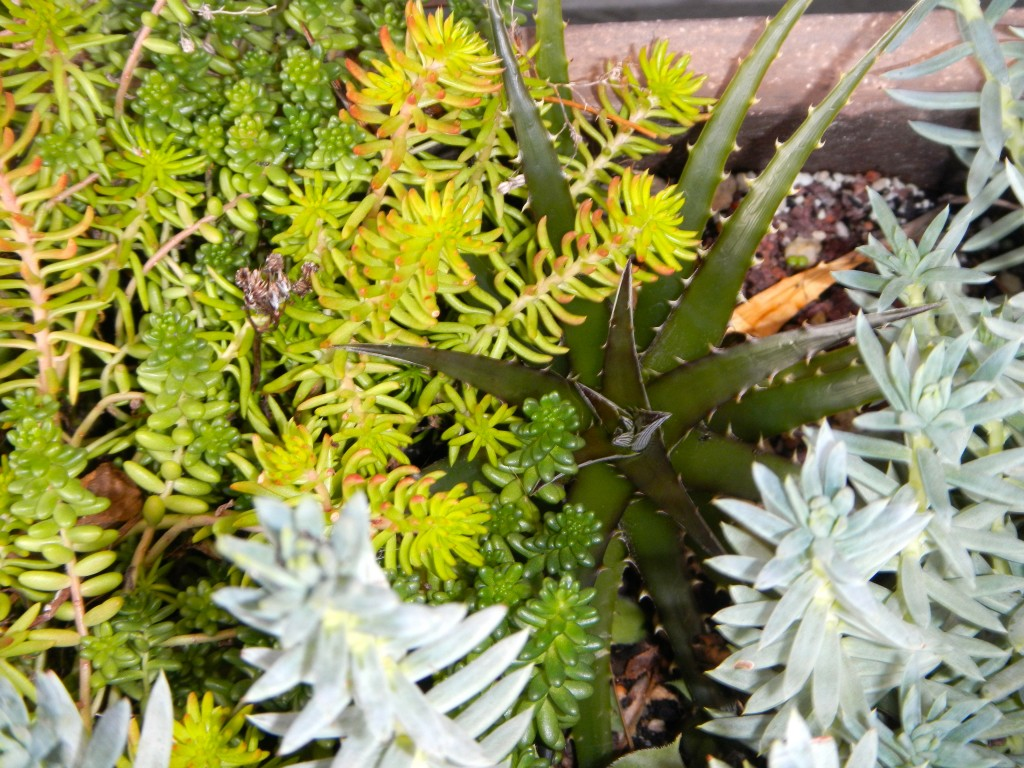 Container planting with healthy Dyckia