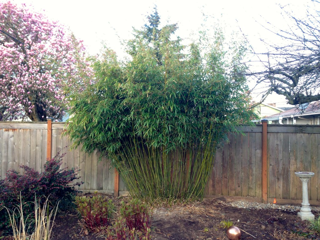 Big Bamboo after thinning. Better, no?