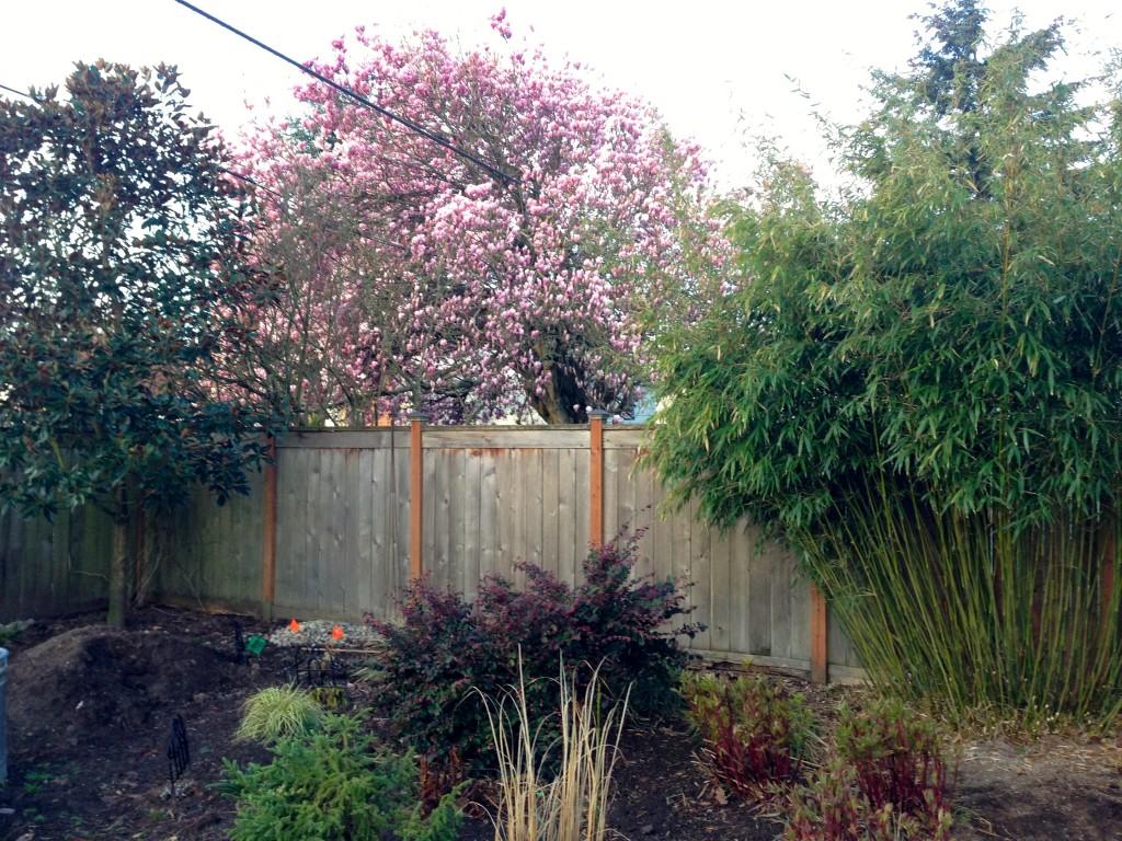 Bamboo, Lorapetalum, and  the Neighbor's Magnificent Magnolia