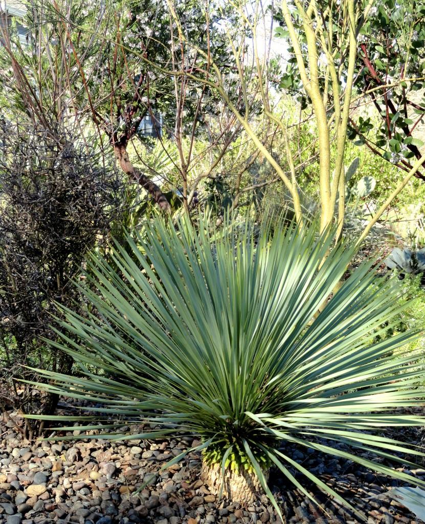 Yucca rostrata 2