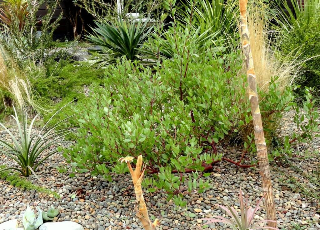 Arctostaphylos densiflora 'Harmony' 1