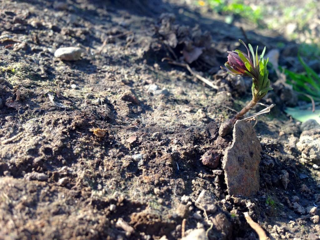 Euphorbia cyparissias 'Fen's Ruby'