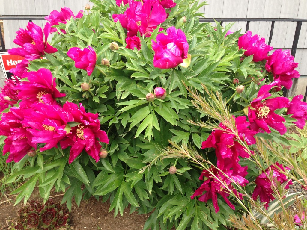 An entire shrub of huge  Peony floozy blooms.  Spared, thank dog.
