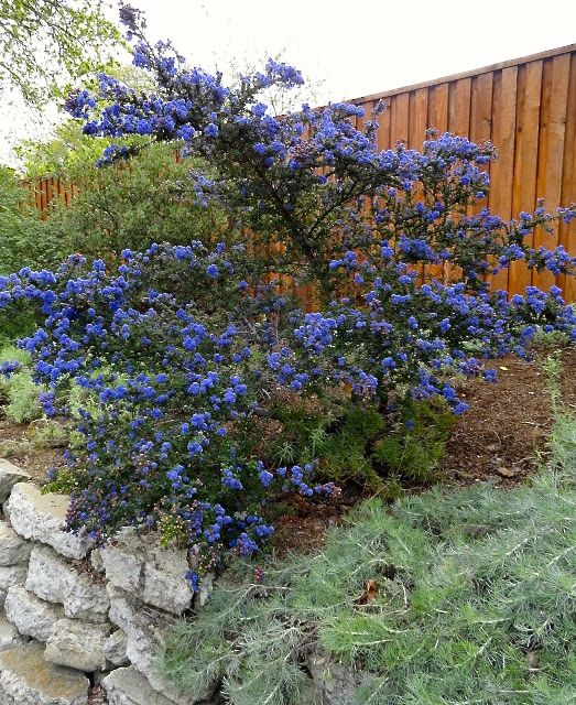 ceanothus dark star by Loree Bohl