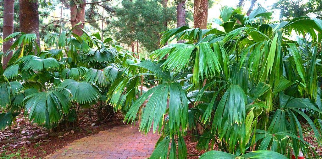 carludovica palmata by karl gercens