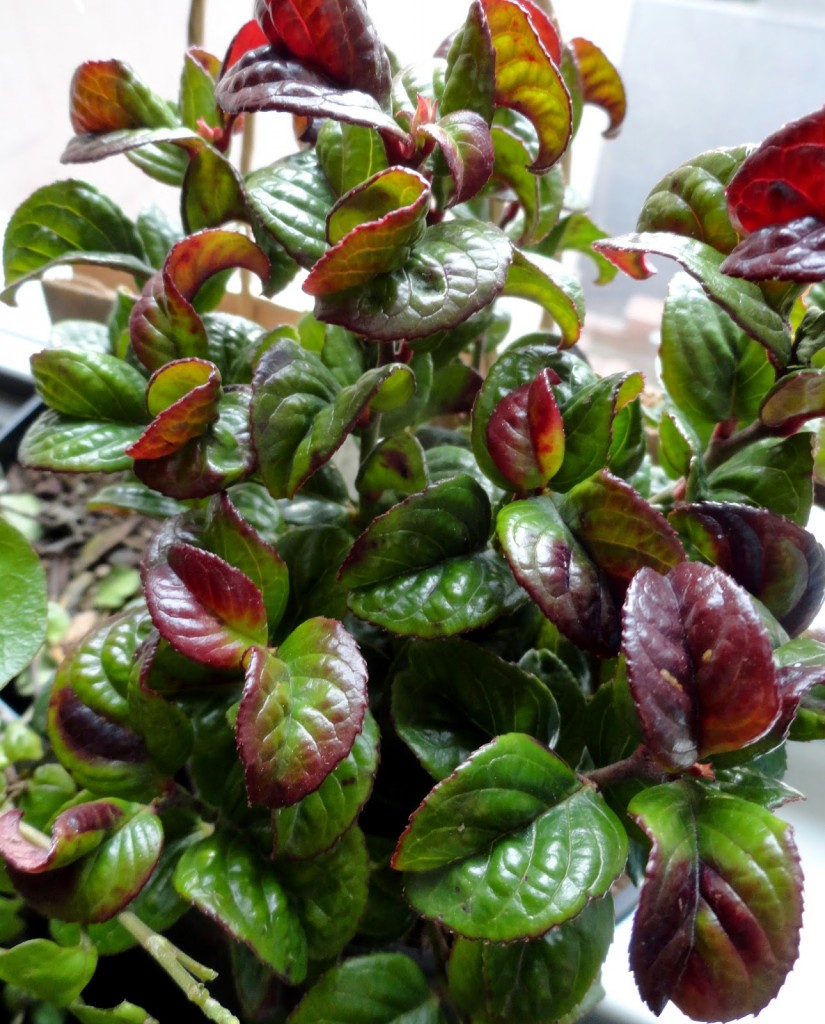 Leucothoe axillaris 'Curly Red'