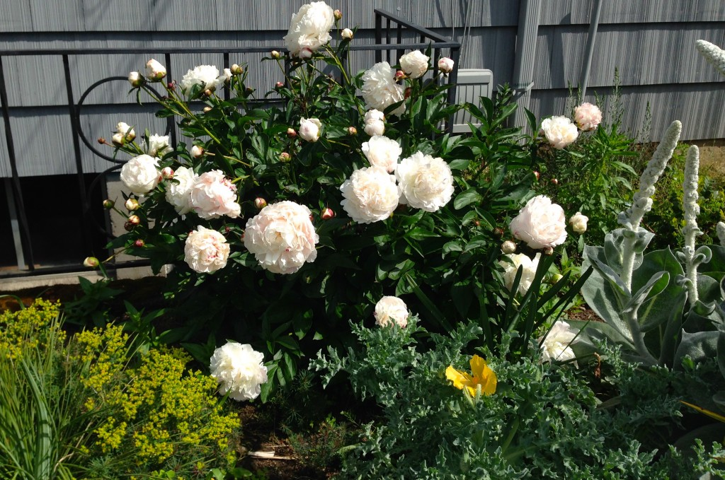 Peonies are coming fast and furious. Hope kitties will be better by next year so I can bring some inside.