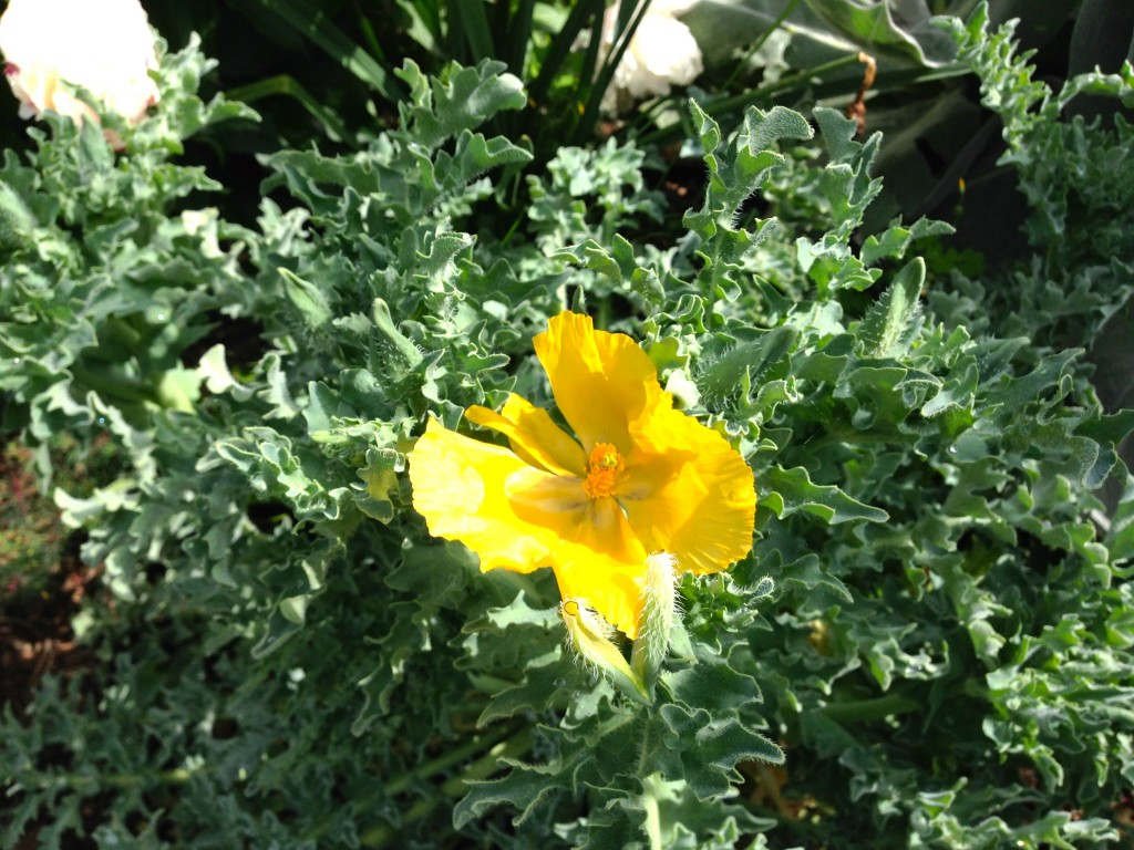 Glaucium flavum opened yesterday. I almost missed it due to a big thistle.