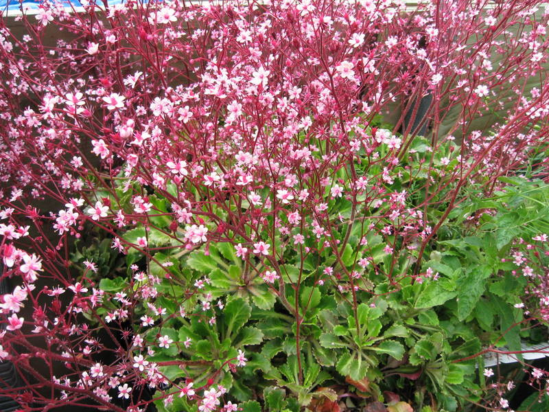 Saxifraga x urbium 'Miss Chambers' by Far Reaches Farm