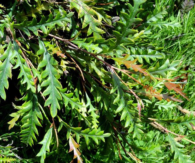 Grevillea austraflora 'Fanfare' by Loree Bohl