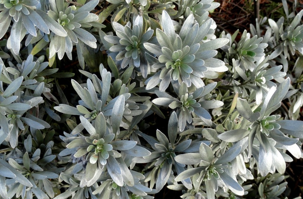 Silver plants: worth their weight in gold