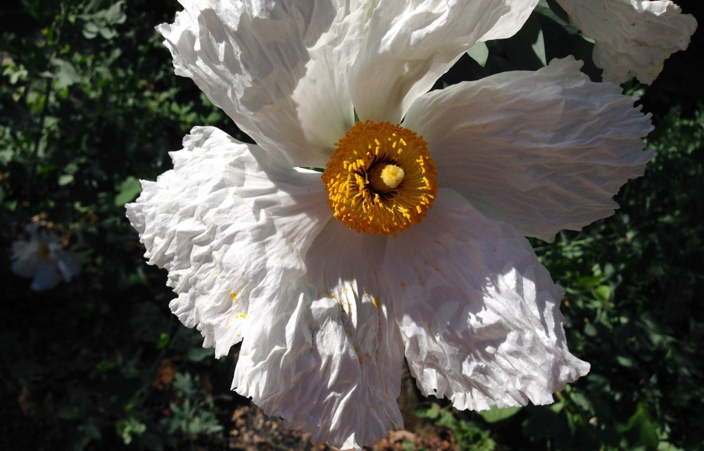 We oohed and awed over the Romneya coulteri aka Matilija Poppy.
