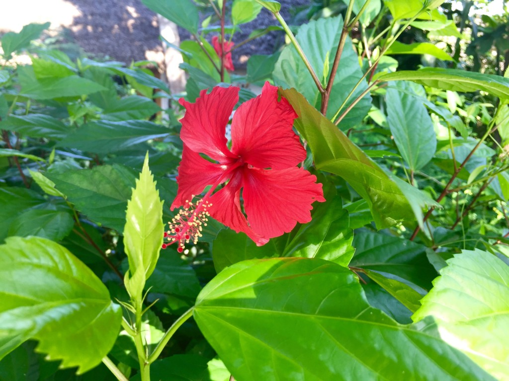 hibiscus from the garden