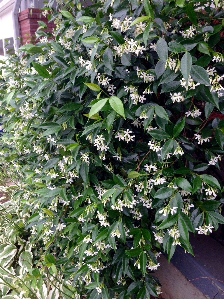 Trachelospermum jasminoides might eat your house, but with heavenly scent.