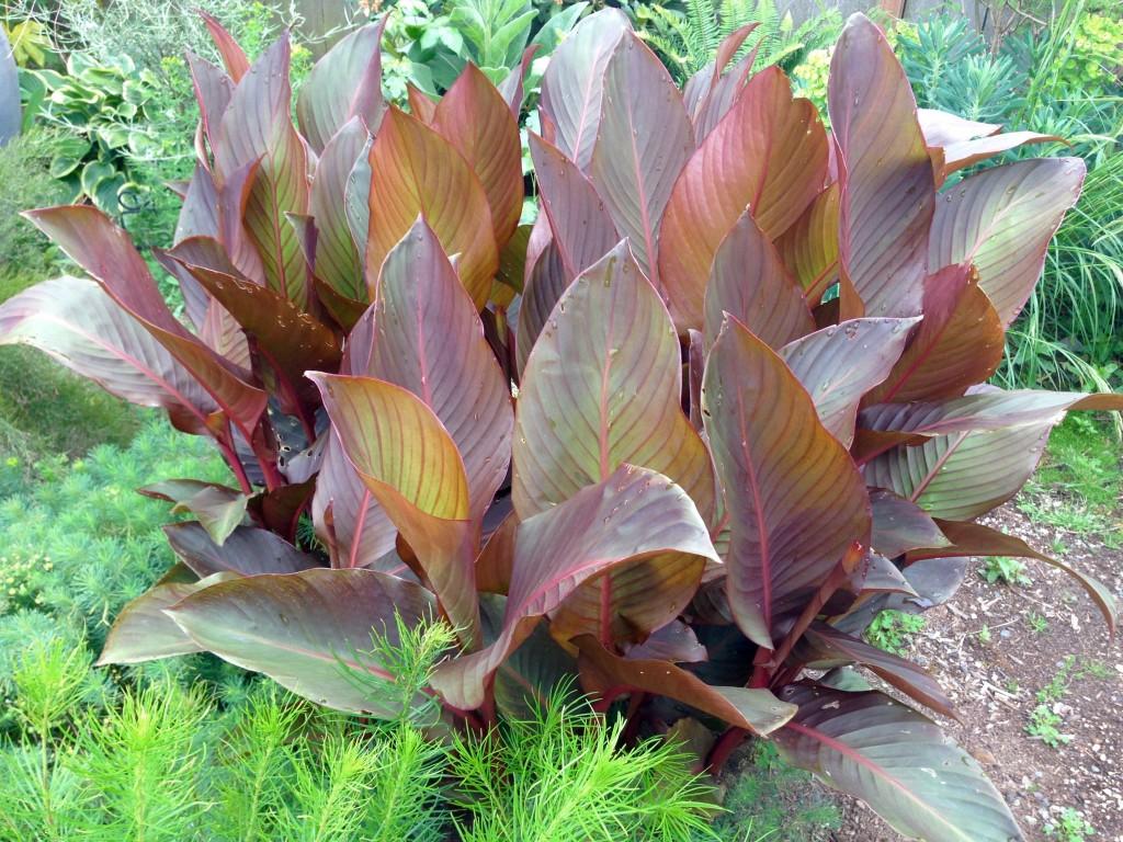 Canna musafolia 'Red' aka Red Banana Canna. A good one for Rosanna Danna...