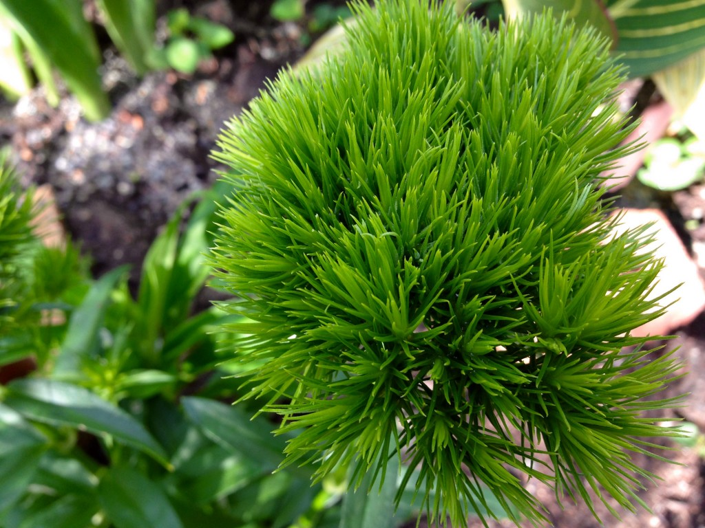 Dianthus 'Green Wicky'