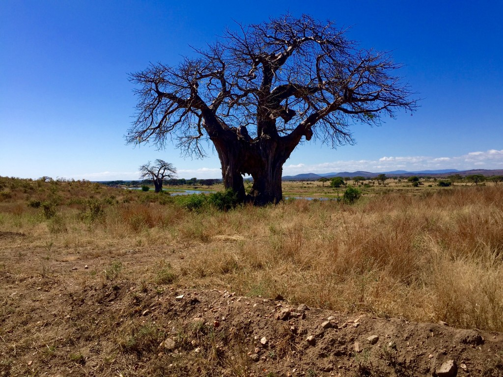 Magnificent Tree in Africa