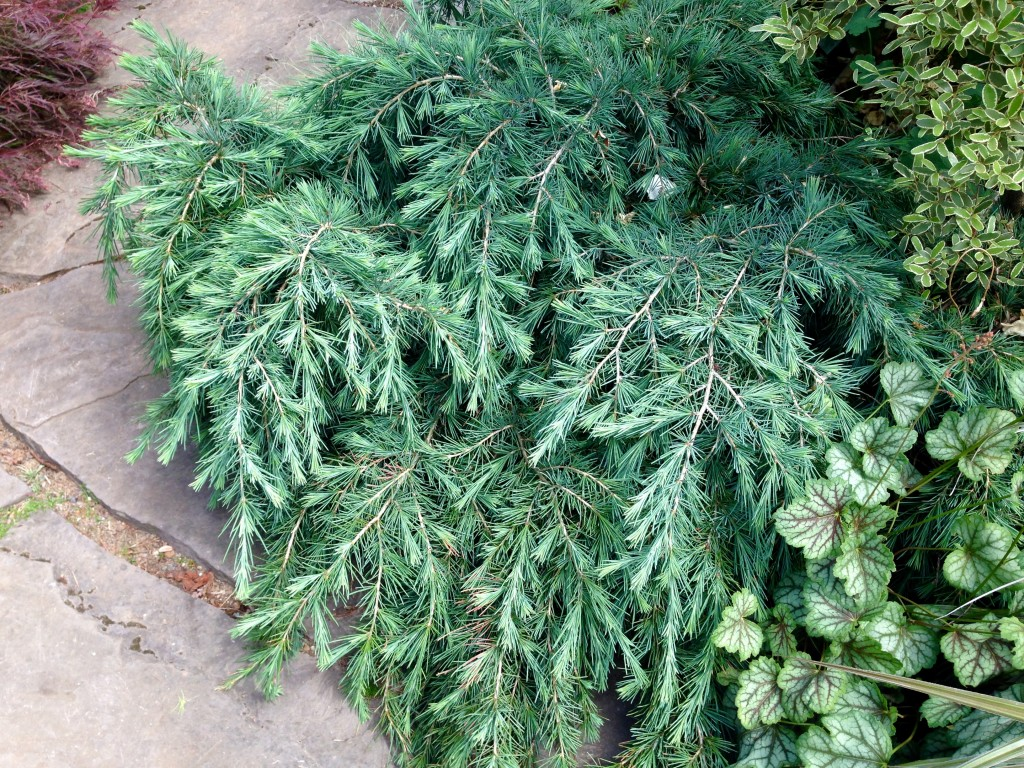 Conifer doing a fine job of anchoring the corner of the front path.