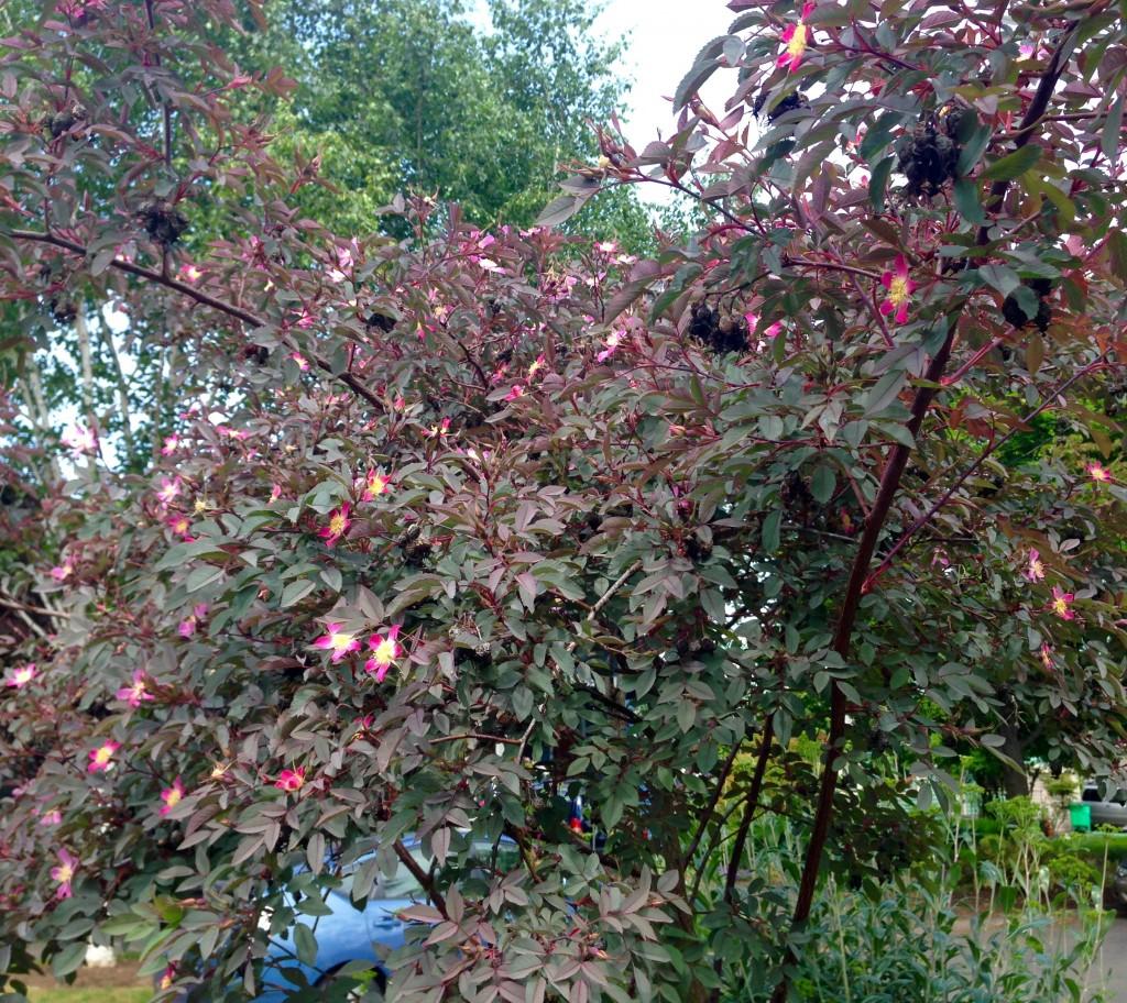 Rosa glauca in tree form.